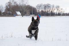 Rinnande hund i ett snöig fält Royaltyfria Foton