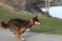 Rinnande hund i rörelse Arkivbild