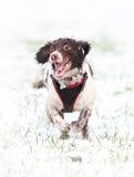 Rinnande hund i snö Arkivfoto