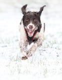 Rinnande hund i snö Royaltyfri Foto