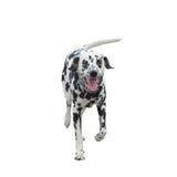 Rinnande hund -- isolerat på vit bakgrund Royaltyfri Foto