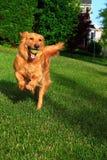 Rinnande hund med bollen Fotografering för Bildbyråer