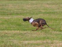 Rinnande hund med den vita kragen royaltyfria foton