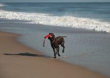 Rinnande hund på stranden Royaltyfria Foton