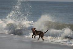 Rinnande hund på stranden Royaltyfri Foto