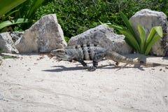 Rinnande mexikan taggig-tailed leguan Arkivbilder