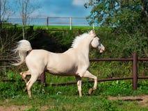 Rinnande palominohäst i paddock Arkivfoto
