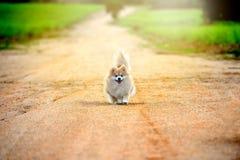 Rinnande pomeranian hund på vägen ungt sunt lyckligt Fotografering för Bildbyråer