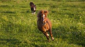 Rinnande ponny Royaltyfri Fotografi