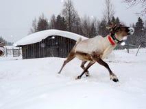 Rinnande ren som väntar på Santa Claus Royaltyfri Bild