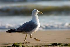 Rinnande seagull Royaltyfri Bild