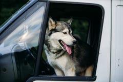 Rinnande skrovlig hund utomhus Arkivfoton