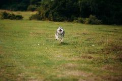 Rinnande skrovlig hund utomhus Royaltyfria Bilder