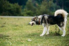 Rinnande skrovlig hund utomhus Arkivfoto