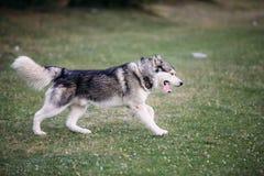 Rinnande skrovlig hund utomhus Royaltyfria Foton