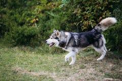 Rinnande skrovlig hund utomhus Royaltyfri Foto