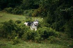 Rinnande skrovlig hund utomhus Royaltyfri Bild