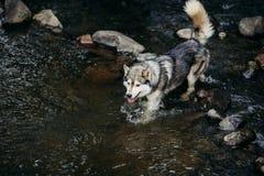 Rinnande skrovlig hund utomhus Arkivbild