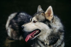 Rinnande skrovlig hund utomhus Fotografering för Bildbyråer