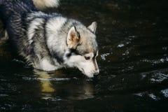 Rinnande skrovlig hund utomhus underhållning Flod Ungt hundsammanträde på gräset utanför Arkivfoton