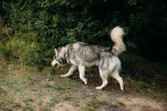Rinnande skrovlig hund utomhus underhållning Flod Ungt hundsammanträde på gräset utanför Royaltyfri Foto