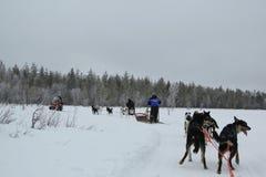 Rinnande skrovlig hundpulka i finlandssvensk Lapland huvudstad Rovaniemi Arkivfoton