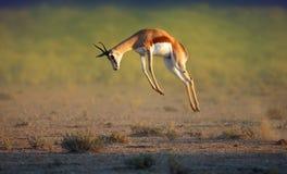 Rinnande springbock som högt hoppar Royaltyfri Fotografi