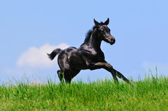 Rinnande svart föl i sommarfält Royaltyfri Fotografi