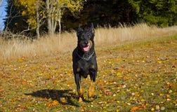 Rinnande svart hund Fotografering för Bildbyråer