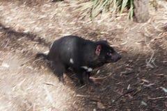 Rinnande tasmanian jäkel royaltyfria bilder