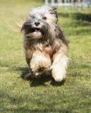 Rinnande tibetana Terrier hund Fotografering för Bildbyråer