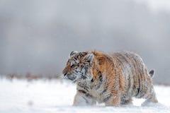 Rinnande tiger med den snöig framsidan Tiger i lös vinternatur Amur tigerspring i snön Handlingdjurlivplats, faradjur Fotografering för Bildbyråer