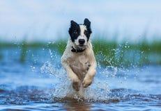 Rinnande valp av vakthunden över vatten Arkivfoto
