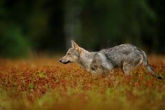 Rinnande varg i högt gräs med blomningen Arkivfoto
