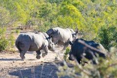 Rinnande vit noshörning royaltyfria bilder