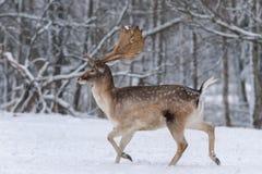 Rinnande vuxna dovhjortar Vinterberättelse med manliga hjortdovhjortar, DamaDama, Daniel In The Natural Habitat Hjortar som körs  arkivbild