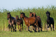 Rinnande Wild hästar Arkivbilder