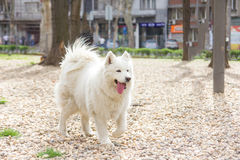 Rinnande yttersida för Samoyedhund Arkivbilder