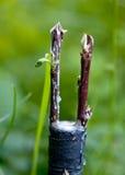 Rinnovamento dell'albero Fotografie Stock