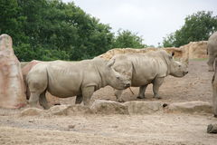Rino. Two Rino in the zoo Stock Images