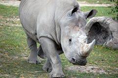 Rino. Large rino walking at zoo Royalty Free Stock Photography
