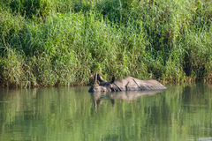 Rino baths in water in river Stock Photography