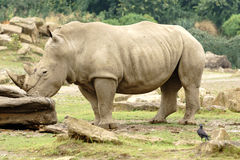 Rino. Full figure - side view Stock Image