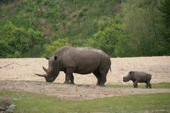 rino potomstwa Zdjęcie Stock