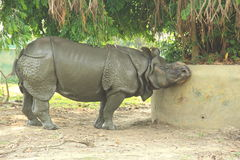 Rino In A Zoo. Large rino at the Alipore Zoo in Kolkata Royalty Free Stock Image