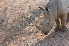 Rinoceronte比亚恩科 库存照片