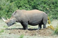 Rinoceronte Imagen de archivo libre de regalías