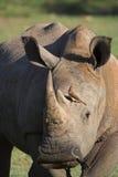 Rinoceronte Foto de Stock Royalty Free