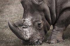 Rinoceronte Immagini Stock
