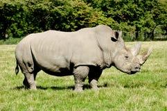 Rinoceronte Fotos de archivo libres de regalías